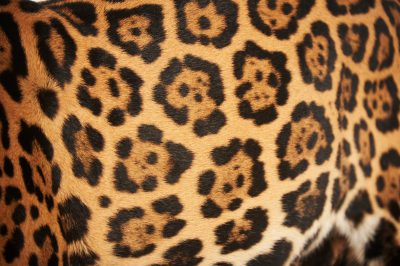 Picture of a federally endangered jaguar (Panthera onca) at the Brevard Zoo in Melbourne, FL.