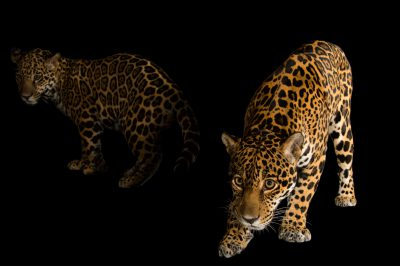 Picture of a federally endangered mother and son jaguar (Panthera onca) at the Brevard Zoo in Melbourne, FL.