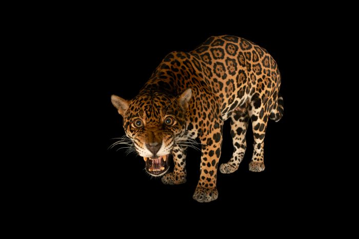 Picture of a federally endangered female jaguar (Panthera onca) at the Brevard Zoo in Melbourne, FL.