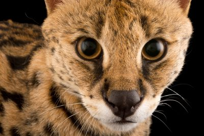 Picture of Gabby, a 1 1/2-year-old serval (Leptailurus serval) at the Central Florida Zoo.