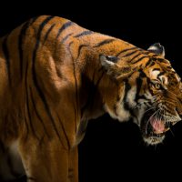 A picture of a critically endangered and federally endangered, female South China tiger, Panthera tigris amoyensis, at the Suzhou Zoo in China.