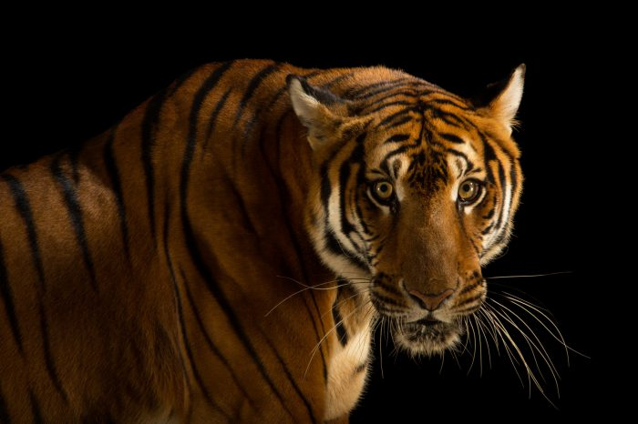 Picture of a critically endangered and federally endangered, female South China tiger, Panthera tigris amoyensis, at the Suzhou Zoo in China