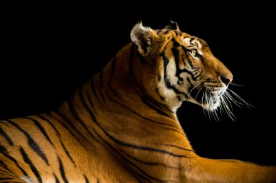 Picture of a critically endangered and federally endangered, female South China tiger, Panthera tigris amoyensis, at the Suzhou Zoo in China.