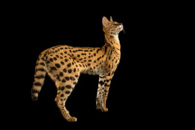 Picture of Johnny the serval (Leptailurus serval) at the Lincoln Children's Zoo.