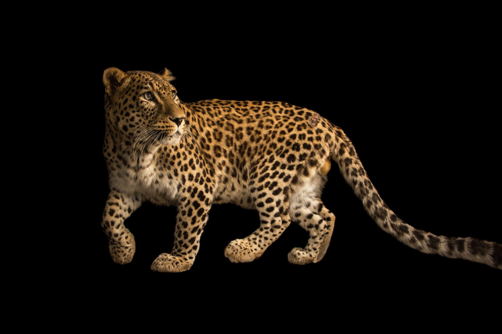 Picture of an endangered Persian leopard (Panthera pardus saxicolor) at the Budapest Zoo.