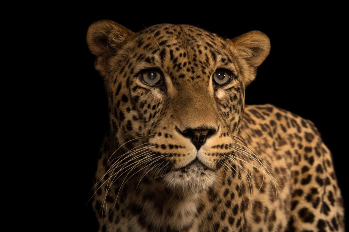 Picture of an endangered Persian leopard, Panthera pardus saxicolor, at the Budapest Zoo.