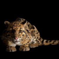 A vulnerable (IUCN) and federally endangered clouded leopard (Neofelis nebulosa) at Houston Zoo..