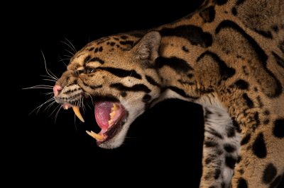 A vulnerable (IUCN) and federally endangered clouded leopard (Neofelis nebulosa nebulosa) at the Houston Zoo.