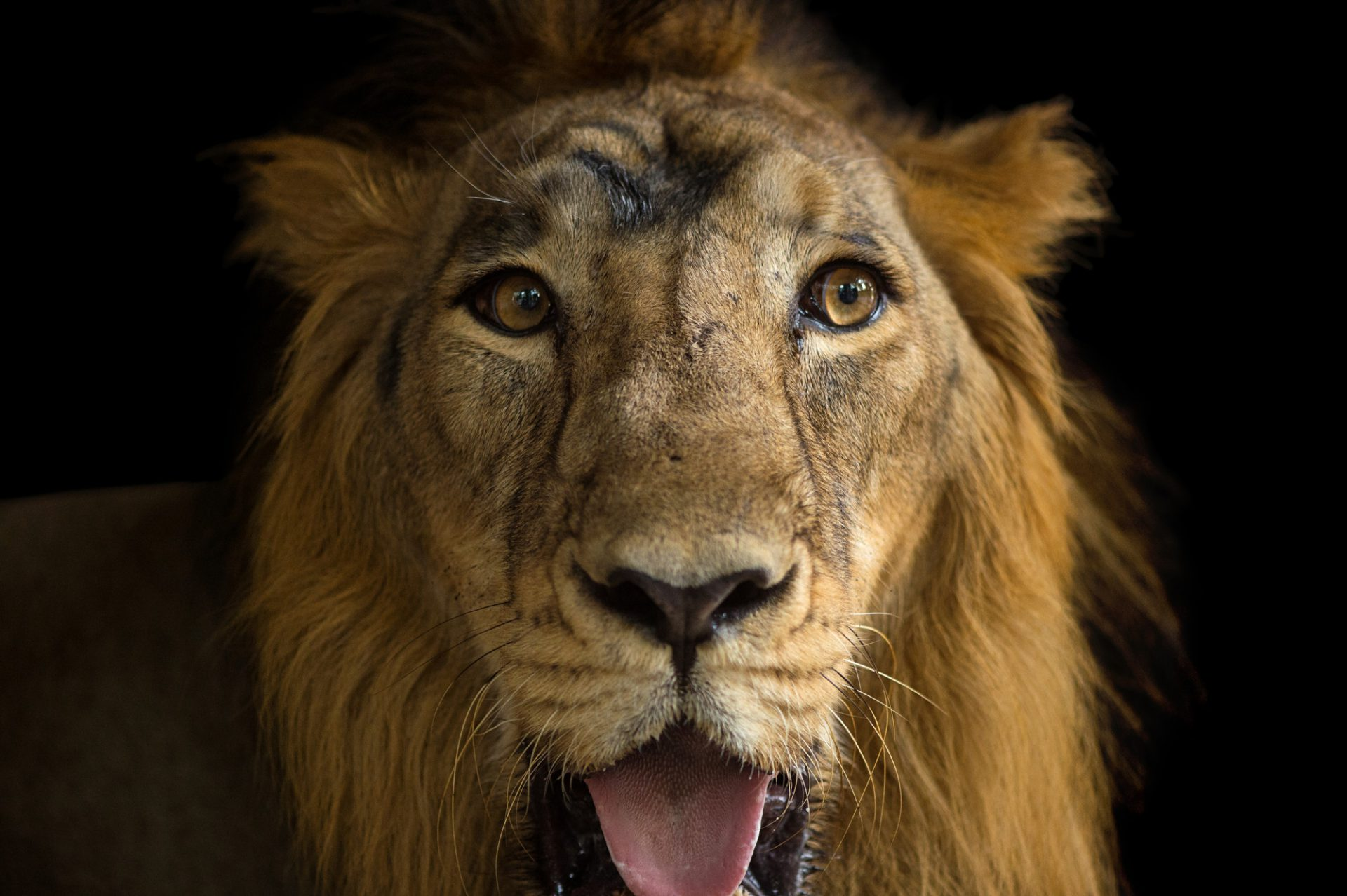 Picture of an endangered (IUCN) and federally endangered male Asiatic lion (Panthera leo persica) at Kamla Nehru Zoological Garden, Ahmedabad, India.