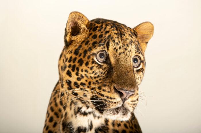 Photo: A Javan leopard (Panthera pardus melas) at Tierpark Berlin.