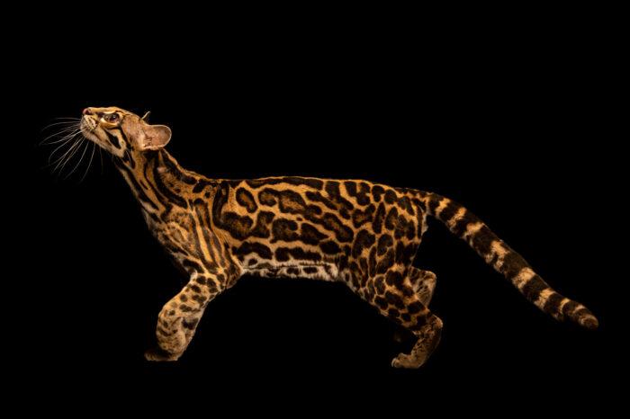 Photo: A Central American margay (Leopardus wiedii nicaraguae) at Tierpark Berlin.