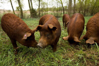 Photo: Larry and Madonna Sorrell of the Lazy S Farm in Kansas raise red wattle pigs.