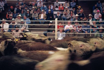 Photo: Cattle mill around while a crowd watches at a cattle auction in Cottonwood, California.