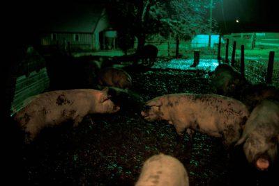 Photo: Pigs wallow in the mud at night on a farm in Bennett, Nebraska.