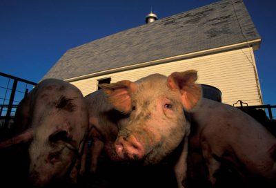 Photo: A close-up of a muddy pig on a farm in Bennett, Nebraska.