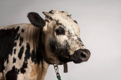 Photo: A Randall Lineback cow, one of the many rare domestic livestock breeds being kept at the Sedgwick County Zoo.
