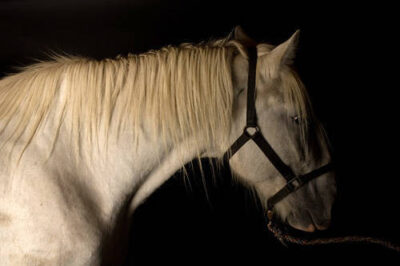 Photo: A Shire draft horse, one of the many rare domestic livestock breeds being kept at the Sedgwick County Zoo.