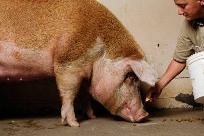 Photo: Livestock at the Sedgwick County Zoo.