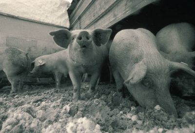 Photo: Pigs on a farm, up close and personal.