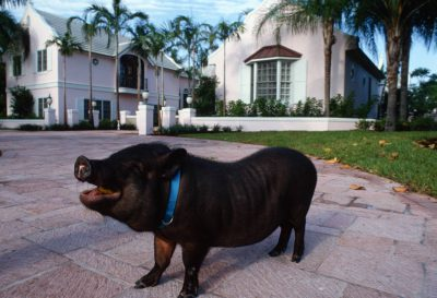 Photo: A pet pot-bellied pig in front of its owner's home in Naples, Florida.
