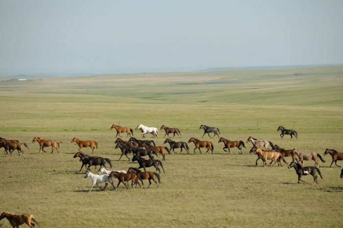 Photo: Approximately 500 wild horses (Equus ferus) at the Triple U Bison Ranch near Fort Pierre, South Dakota.