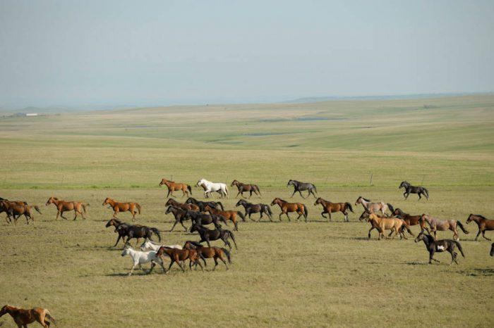 Photo: Approximately 500 wild horses (Equus ferus) at the Triple U Bison Ranch near Fort Pierre, South Dakota.