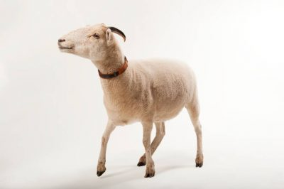 Photo: A Gulf Coast native sheep at the Audubon Zoo in New Orleans.