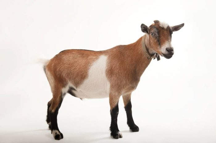 Photo: Nigerian dwarf goat at the Audubon Zoo in New Orleans.