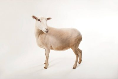 A St. Croix sheep (Ovis aries) at the Audubon Zoo in New Orleans.