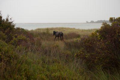 Photo: A rare wild Banker horse on Shackleford Banks.