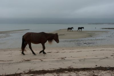 Photo: Rare wild Banker horses on Shackleford Banks.