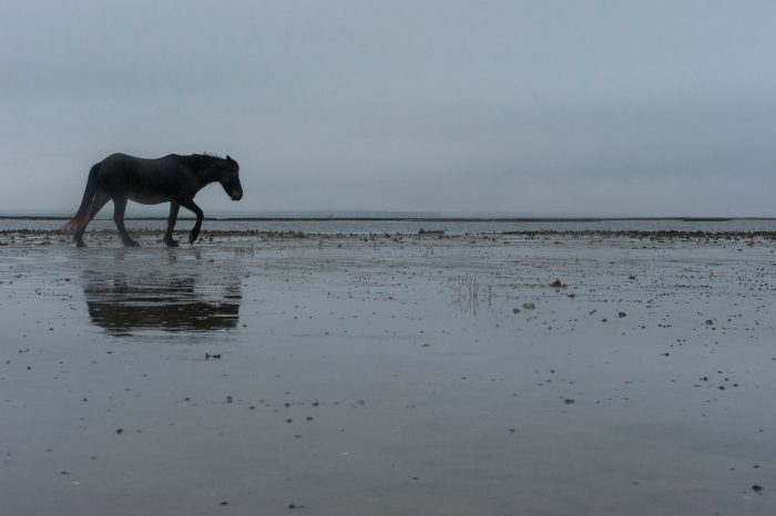 Photo: A rare wild Banker horse on Shackleford Banks.