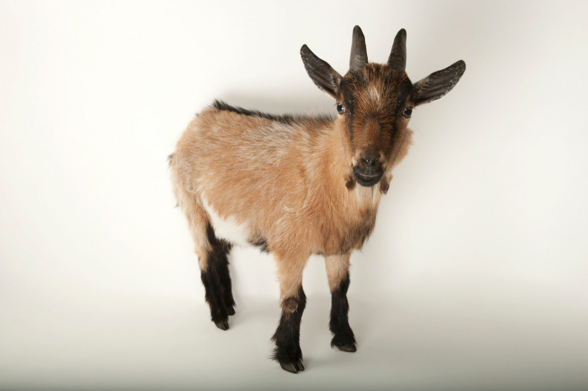 Photo: Pygmy goat at the Lincoln Children's Zoo.