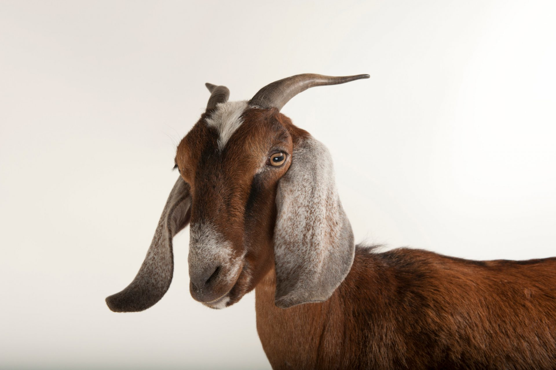 Photo: Nubian goat at the Lincoln Children's Zoo.