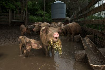 Photo: Organically raised pigs on a farm near Palmyra, Nebraska.