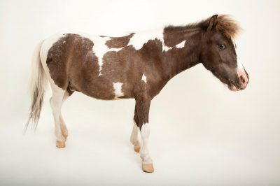 A miniature American horse (Equus ferus caballus) at the Gladys Porter Zoo in Brownsville, Texas.