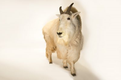 Picture of a male Mountain goat (Oreamnos americanus) at the Cheyenne Mountain Zoo.