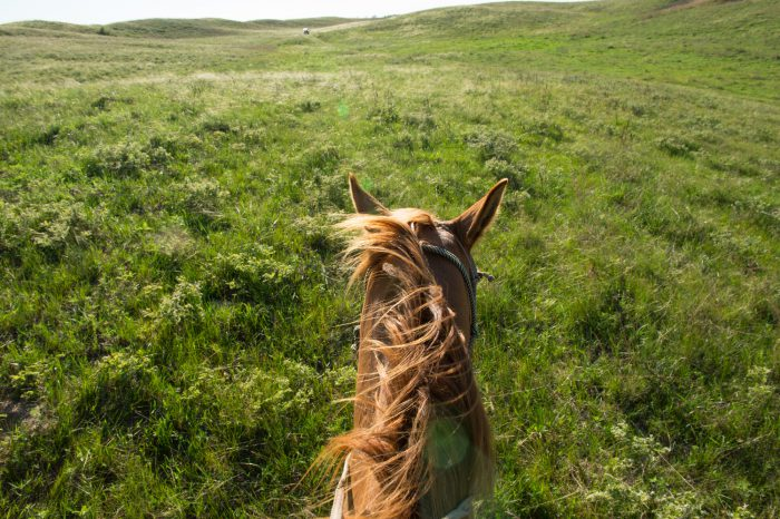 Photo: A horse walking through a field from the rider's point of view.