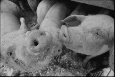 Photo: Close up of three young pigs.