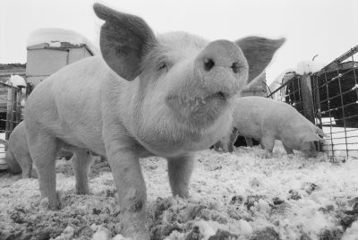 Photo: Close view of a young pig in a snowy pen.