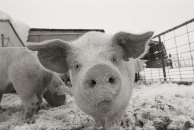 Photo: Portrait of a young pig in a snow dusted animal pen.