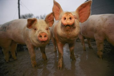 Photo: Pigs lift their heads in response to the camera.
