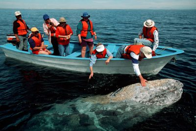 Photo: Tourists pet California gray whales at Laguna San Ignacio near Baja, California.