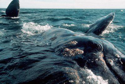 Photo: California gray whales (protected) at Laguna San Ignacio near Baja, Mexico.