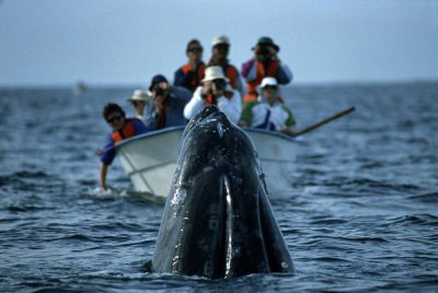 Photo: Tourists watch California gray whales at Laguna San Ignacionear Baja, California.
