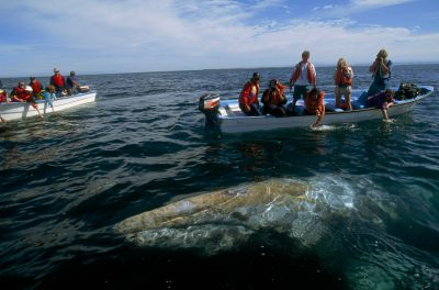 Photo: In this winter nursery for gray whales (Eschrichtius glaucus), one of the cetaceans swims close to two whale-watching boats, seeking contact with now-friendly humans.