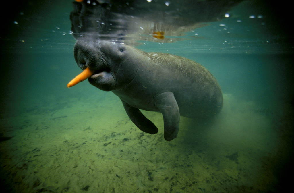 Photo: The endangered Florida (West Indian) manatee, shown in the wild.
