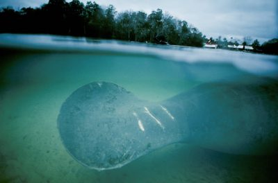 Photo: Endangered Florida manatee, shown in the wild, with wounds caused by a speedboat's propellers.