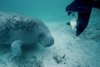 Photo: Endangered Florida manatee in the wild.