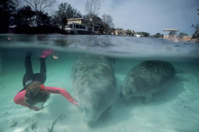 Photo: A diver with the endangered Florida manatee near Crystal River, Florida.